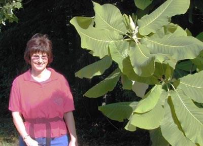 Magnolia Macrophylla Big Leaf Magnolia Plant Gallery Nc Native